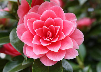 Camellia I Original