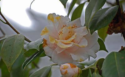 Camellia In Bloom Original