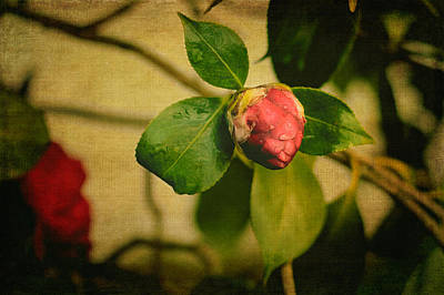 Photograph - Camellia by Marco Oliveira