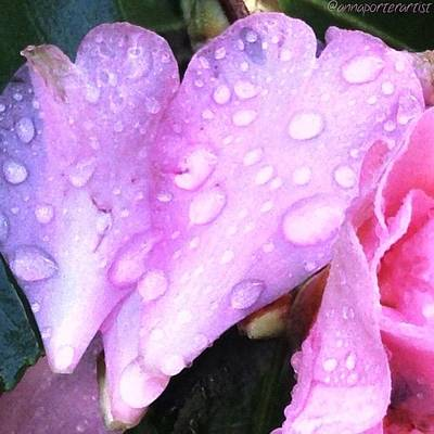 Raindrops Photograph - Camellia Petal With Raindrops by Anna Porter