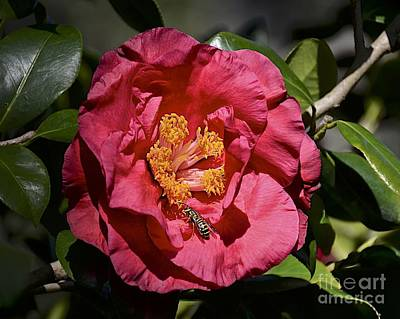 Photograph - Camellia With Friend by Carol  Bradley