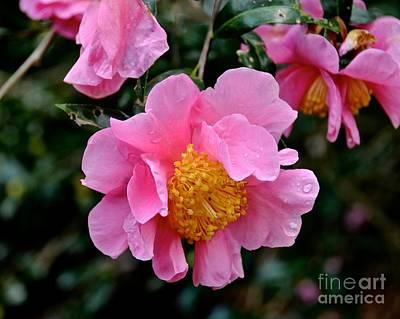 Photograph - Camellias by Carol  Bradley