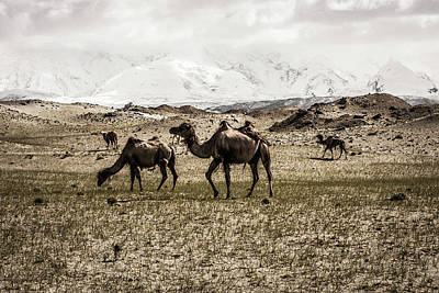 Clouds Over Pasture Photograph - Camels At An Alpine Pasture by Tim Martin