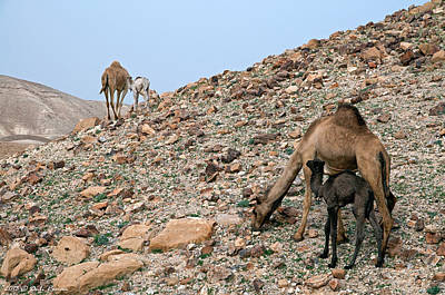 Photograph - Camels At The Israel Desert -1 by Dubi Roman
