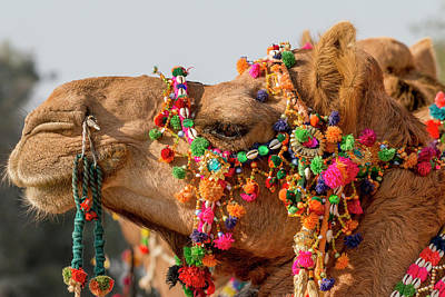 Dromedary Photograph - Camels (dromedary by Tom Norring