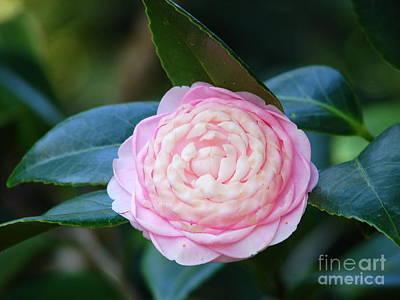 Camellia Photograph - Camellia Beauty by Lew Davis