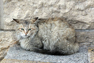 Photograph - Camo Cat by PJ Boylan
