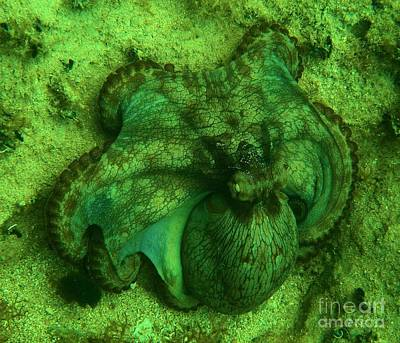 Photograph - Camoflauged Octopus by Adam Jewell