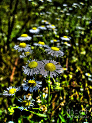 Photograph - Camomile by Nina Ficur Feenan
