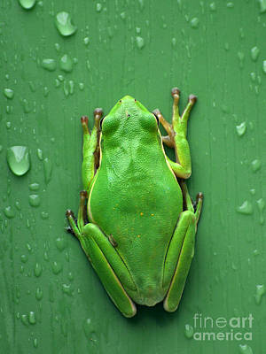 Photograph - Camophlage Tree Frog by Kathy Baccari