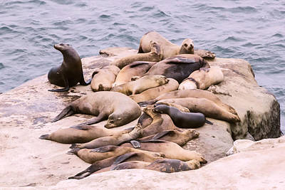 Digital Art - Camouflage Sea Lions by Photographic Art by Russel Ray Photos