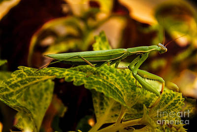 Mantidae Photograph - Camouflage Special by Robert Bales