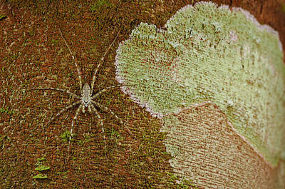 Photograph - Camouflaged Bark Spider by Francesco Tomasinelli