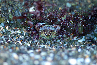 Photograph - Camouflaged Crab by Sarah Crites