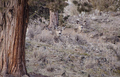 Photograph - Camouflaged Deer  by Linda Larson