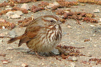 Photograph - Camouflaged Sparrow by Frank Townsley