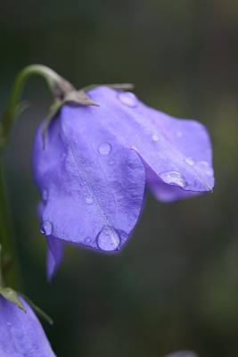 Campanula After The Rain Art Print by Mark Severn