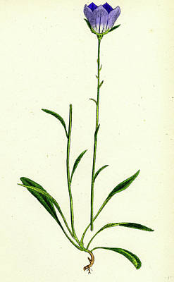 Peach Drawing - Campanula Persicifolia Peach-leaved Bell-flower by English School
