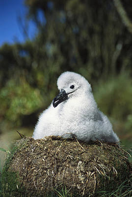 Campbell Albatross Young Chick Campbell Art Print by Tui De Roy