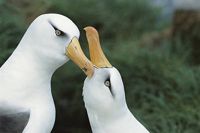Campbell Albatrosses Courting Campbell Art Print by Tui De Roy