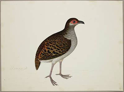 Watercolour Photograph - Campbell's Tree Partridge by British Library