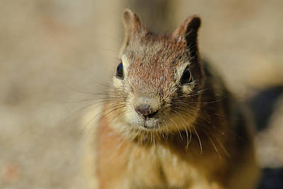Pine Squirrel Photograph - Campground Beggar, Golden Mantled by Michael Qualls