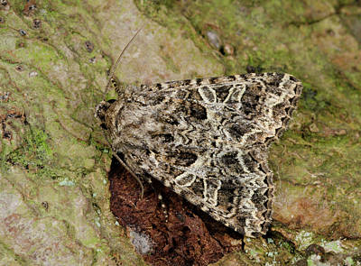 Locally Photograph - Campion Moth by Nigel Downer
