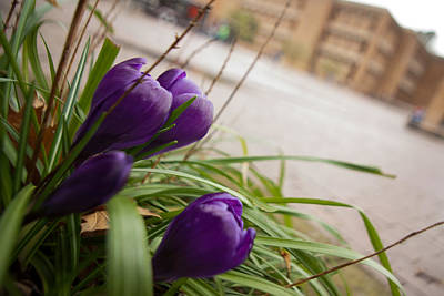 Art Print featuring the photograph Campus Crocus by Erin Kohlenberg
