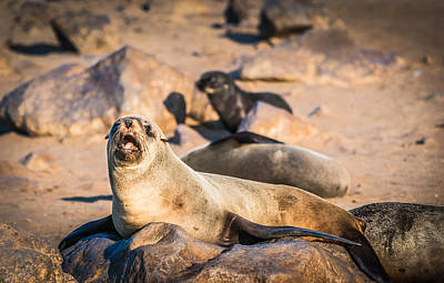 Aquatic Digital Art - Can I Get Some Service Here - Fur Seal Photograph by Duane Miller