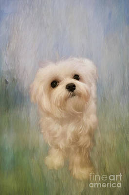 Maltese Digital Art - Can We Play Now by Lois Bryan