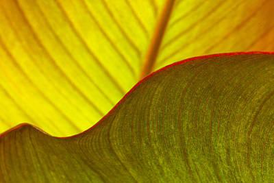 Canna Photograph - Canna Lily Leaf Curves by Marina Kojukhova