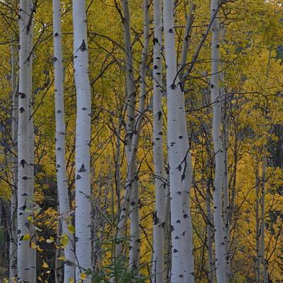 Photograph - Canadian Birch 1.1 by Cheryl Miller