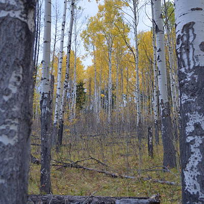 Photograph - Canadian Birch 1.2 by Cheryl Miller
