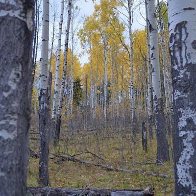 Photograph - Canadian Birch 1.2 by Cheryl Miller