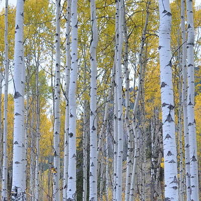 Photograph - Canadian Birch 1.3 by Cheryl Miller