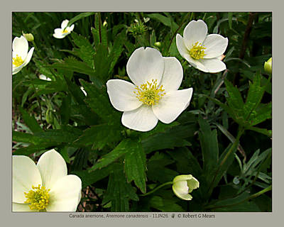 Canada Anemone - Anemone Canadensis - 11jn26 Art Print by Robert G Mears