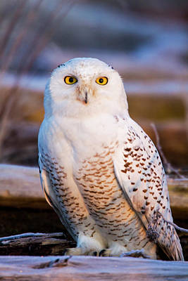 Snowy Owl Photograph - Canada, British Columbia, Snowy Owl by Terry Eggers