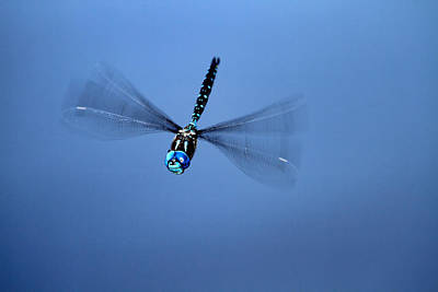 Photograph - Canada Darner Dragonfly Flying by Peggy Collins