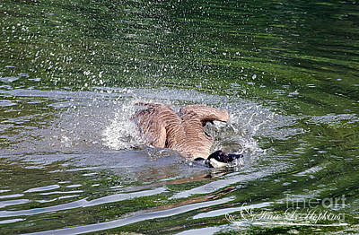 Photograph - Canada Geese 20120515_280a by Tina Hopkins