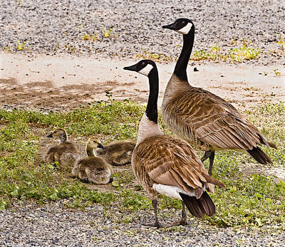 Photograph - Canada Geese And Goslings by Bob and Nadine Johnston