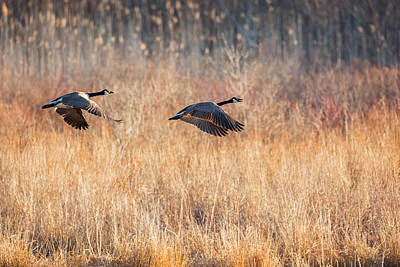 Connecticut Landscape Photograph - Canada Geese by Bill Wakeley