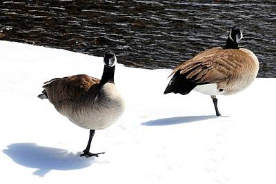 Photograph - Canada Geese - Cold Feet by Marilyn Burton