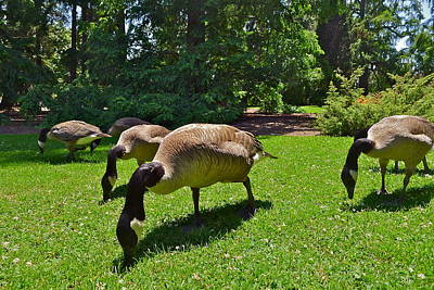 Photograph - Canada Geese by Denise Mazzocco
