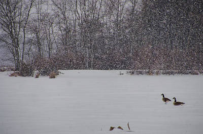 Photograph - Canada Geese During A Snowfall by Beth Sawickie