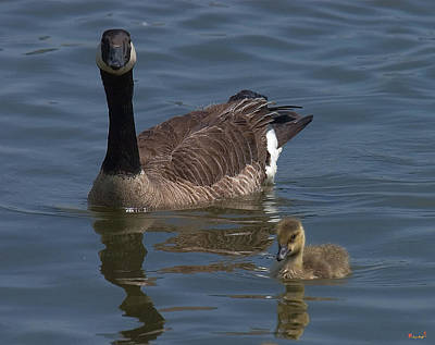 Photograph - Canada Geese Dwf036 by Gerry Gantt