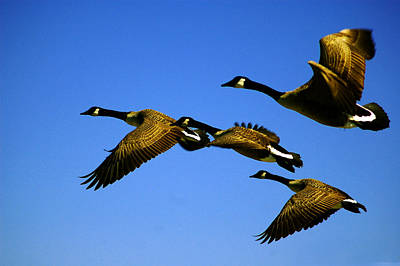 Photograph - Canada Geese Fly Over Ocean City Md by Bill Swartwout