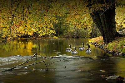 Photograph - Canada Geese In Autumn Swimming On The Thornapple River by Randall Nyhof