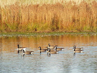Photograph - Canada Geese In Fall 2 by Gene Cyr