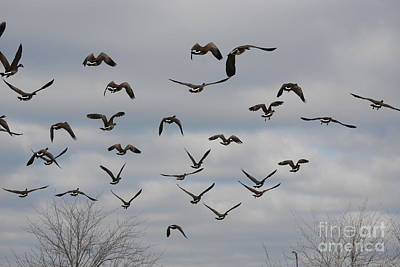 Photograph - Canada Geese In Flight 2 by Mark McReynolds