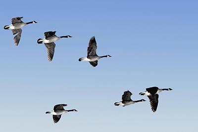Jul08 Photograph - Canada Geese In Flight, Algonquin Park by Doug Hamilton